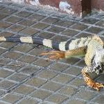 Wild Iguana in the square. Cool!