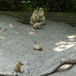 Prarie Dogs & babies Salisbury zoo 2011