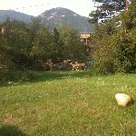 Mule deer just grazing in the backyard