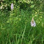 Orchids spotted on Friday 3rd June 2011