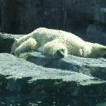 Polar bear lazing in the sun