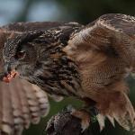 Tayto Park Falconry