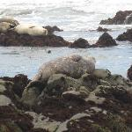 Seals at Moonstone Beach