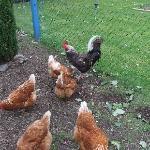 Dolawel Chickens