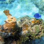 Snorkeling at Spring Bay - Tang fish