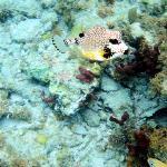 Snorkeling Spring Bay - Trunkfish
