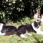 Couger,Sarfie and Kitty, the farms resident Border Collies, lazing out in the May sun