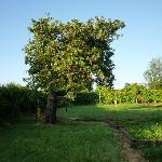 Hollow apple tree on the left in the garden.