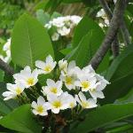 BEAUTIFUL frangipani trees in the hotel premises!