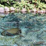 Trout in the pool - it's an interesting story as to why they are there!