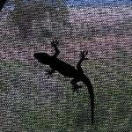 gecko, friendly bug catcher