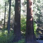 Le sequoie rosse giganti
