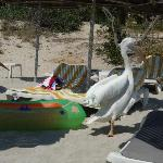 visit of the Pelicans on Nissi beach