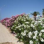 Oleander shrubs along beach walks