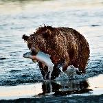 mother grizzly with food for cubs