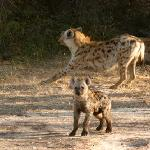 Hyenas at Den