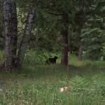 Black Bear in June in the neighborhood