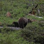 grizzly seen on our way from yellowstone to Cody