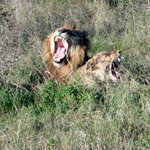 Lions getting ready to mate!