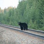 Black Bear on Train Tracks