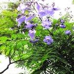 世界三大花木ジャガランタ
