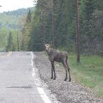 Watch for moose in the road