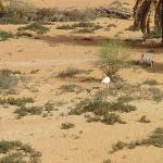 Oryx-Antilopen am Wasserloch