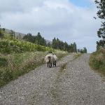 Sheep leading the way on the Letterkeen Loop Walk