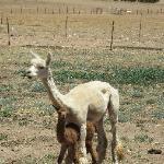 Feeding the alpaccas