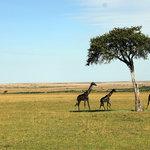 Giraffes spotted at Masai Mara
