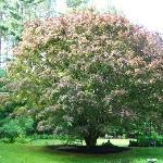 Beautiful Japanese Maple in back yard
