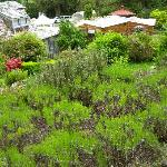 lavendar garden