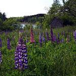 Lupine field