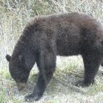 Bear in the Yukon