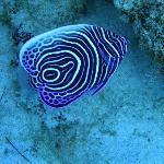 Juvenile Emporer Angel Fish