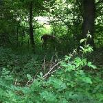 deer on our trail