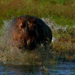 Hippo's in Pongola River