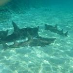 Guitar sharks.