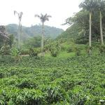 View of some of the coffee gardens