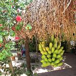 Huge bunch of bananas lashed to the thatched roof. Pick your own!