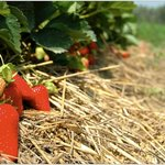 Le nostre fragole - Azienda Agricolia