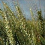 il grano - Azienda Agricolia