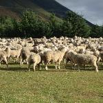 Sheep sheering day