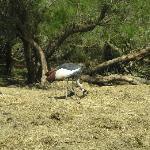 grue couronnée (savane)
