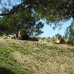 lion et lionnes (parc des lions)