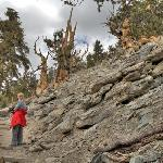 Methuselah Trail is 4 1/2 mile loop