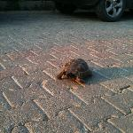 turtle walking down path of Greenland hotel!!