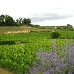 lavender and vineyards