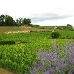 lavender and vineyards