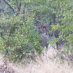 A kudu in the dense forest of Moremi